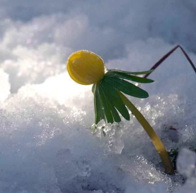 Erantisser varsler forår