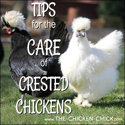 Tips for the Care of Crested Chickens  www.The-Chicken-Chick.com