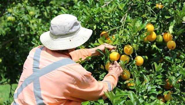 Ψώρα έκανε την εμφάνιση της στους πορτοκαλεώνες της Αργολίδας (μέτρα προστασίας)