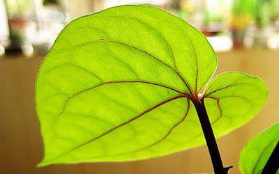 manfaat daun sirih, manfaat daun sirih merah, manfaat daun sirih untuk mata, manfaat daun sirih hijau, manfaat daun sirih untuk wajah, manfaat daun sirih untuk jerawat, manfaat daun sirih untuk kewanitaan, manfaat daun sirih untuk lovebird, manfaat daun sirih merah untuk mata, manfaat daun sirih untuk miss v, manfaat daun sirih untuk rambut,