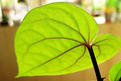 11 Manfaat daun sirih hijau sebagai obat tradisional