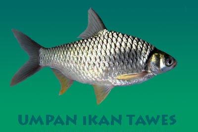 Umpan Ampuh Jitu Untuk Mancing Ikan Tawes