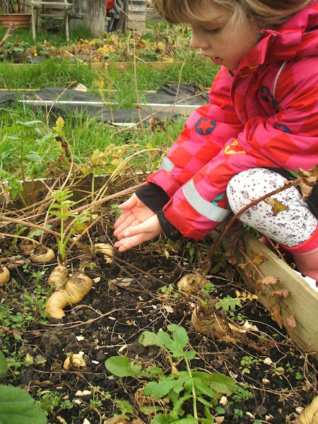 enjoying harvesting our first crop of parsnips from the allotment raised beds