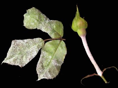 manchas blancas hojas rosal