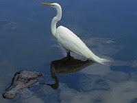 Burung Ini Jadikan Aligator sebagai 'Bodyguard'