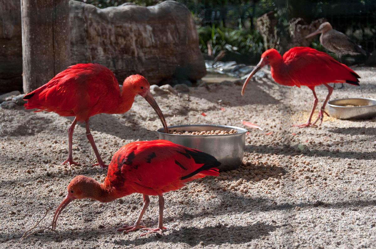 Red ibis, Parco Faunistico Cappeller, Nove, Veneto, Italy