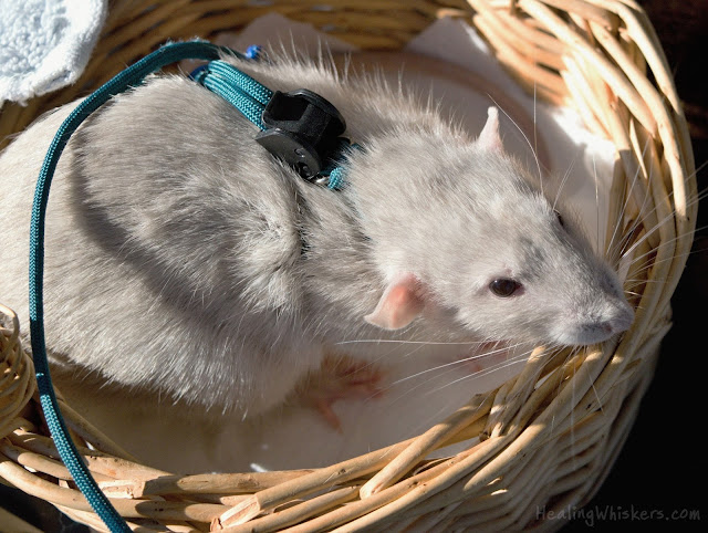 Oliver, a therapy rat in training, in his basket