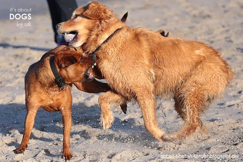 Imponier und Drohverhalten bei Hunden ist oft nur schwer von  harmlosen spielen zu unterscheiden.