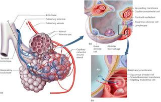 pertukaran gas di alveolus
