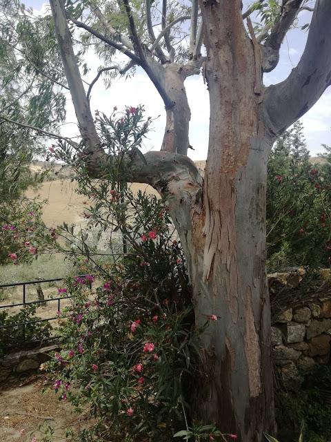 kora eukaliptusa, oleander