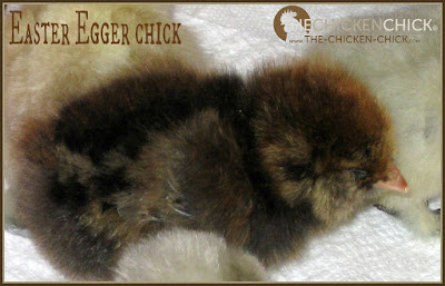 4 day old Easter Egger chick via www.The-Chicken-Chick.com