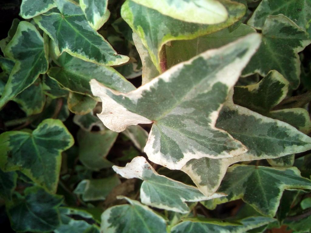 """Hedera Helix """"variegata"""""""