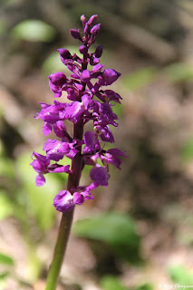 Orchis mâle (Orchis mascula), Fontainebleau, 77