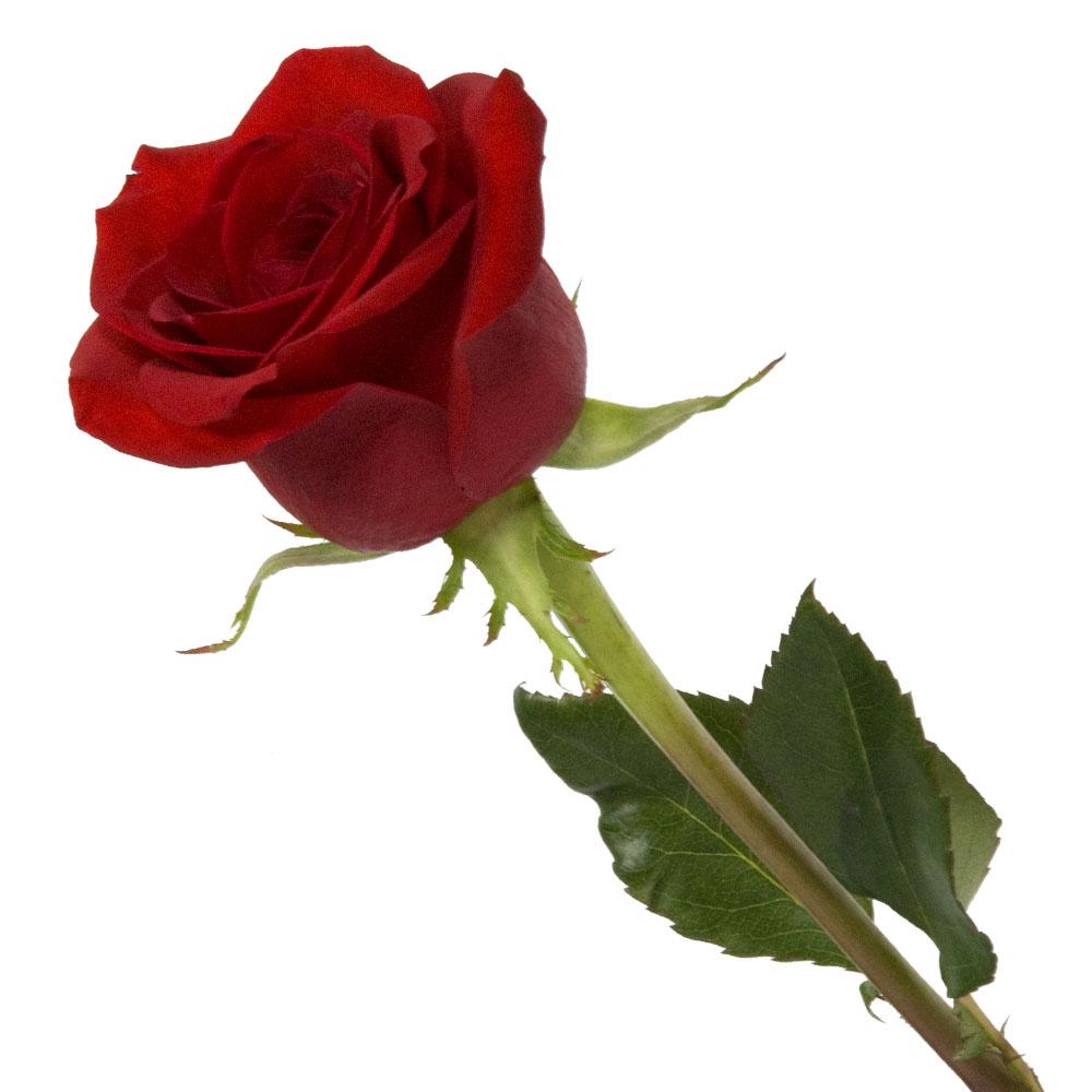 Rose Flower: Aap Bhi Facebook Se Kama Skte Hai Paisa Aur Ban Sakte Hai