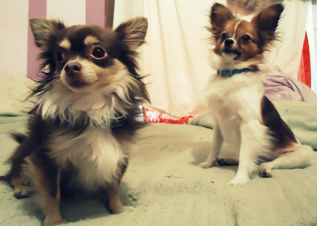 Ruffles In The Front Chihuahua Papillon Chialon Or