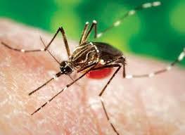 Zika Virus - Mosquito