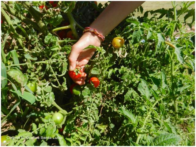 Cosechando tomates cherry - Chacra Educativa Santa Lucía