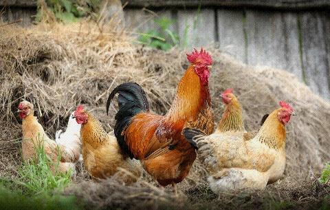 sering konsumsi ayam boiler