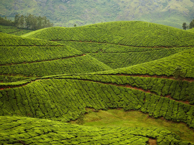 Kolukkumalai Tea Estate: Munnar, India