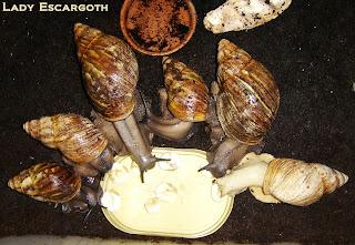 archachatinas marginata ovum