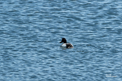 スズガモ ≪Greater Scaup≫