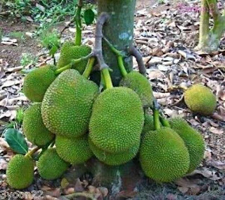 Know the benefits  of the jackfruit