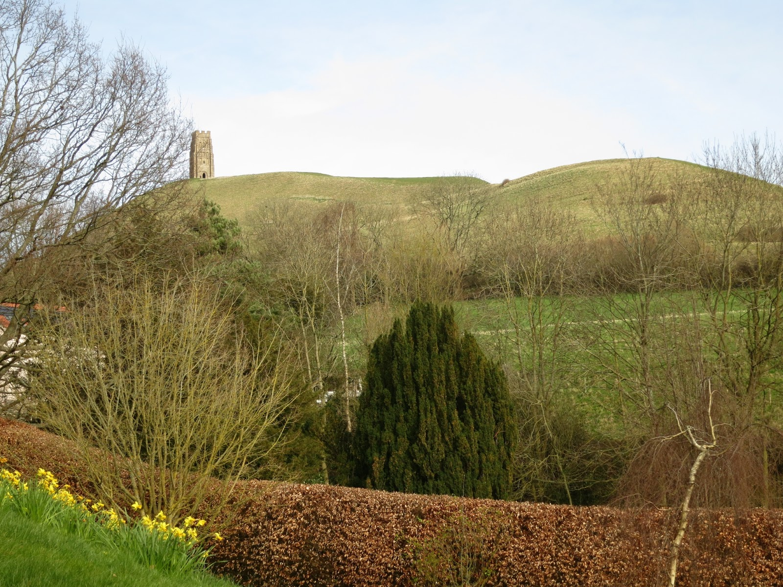 Tower on Glastonbury Tor, with trees, daffodils and beech hedge in foreground