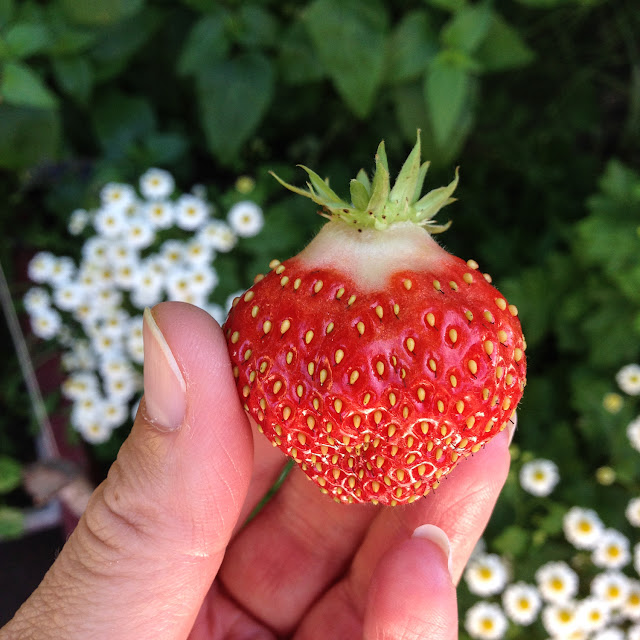 strawberries, garden strawberries, harvesting, growing food, summer, #ssjuly2015, savor summer, Anne Butera, My Giant Strawberry