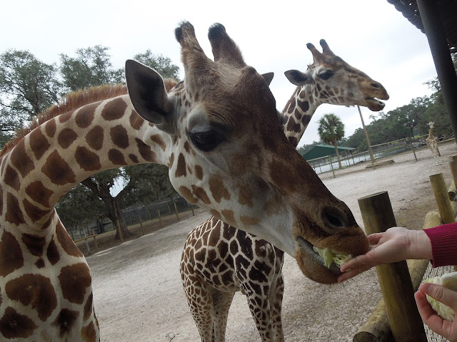 Giraffe Ranch in Dade City