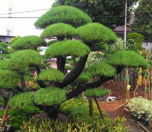 macam-macam pohon cemara