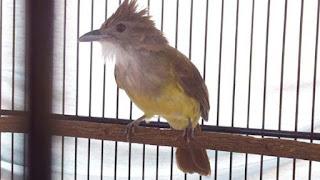 Burung Cucak Jenggot - Perawatan Jitu Pada Burung Cucak Jenggot yang Mabung - Penangkaran Burung Cucak Jenggot