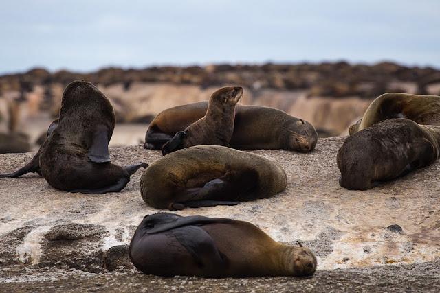 Cría de león marino en Duiker Island, Península del Cabo, Sudáfrica