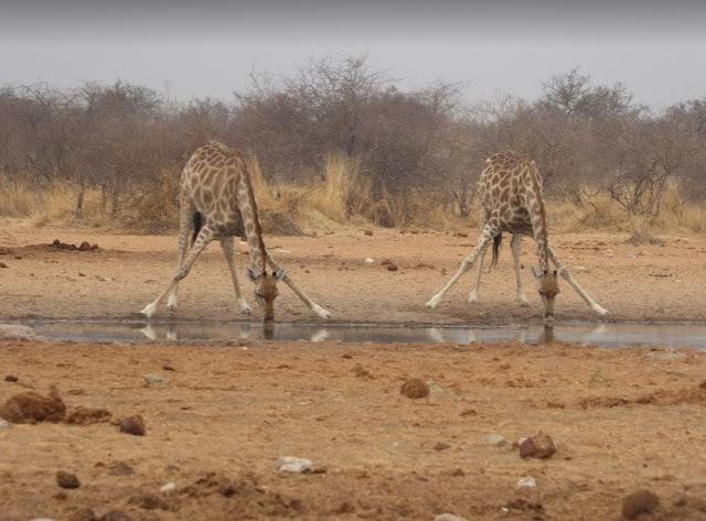 giraffe che bevono all'Etosha