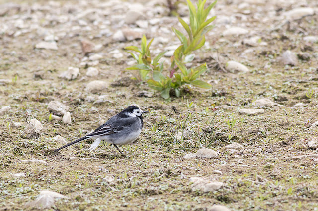 Female Pied Wagtail