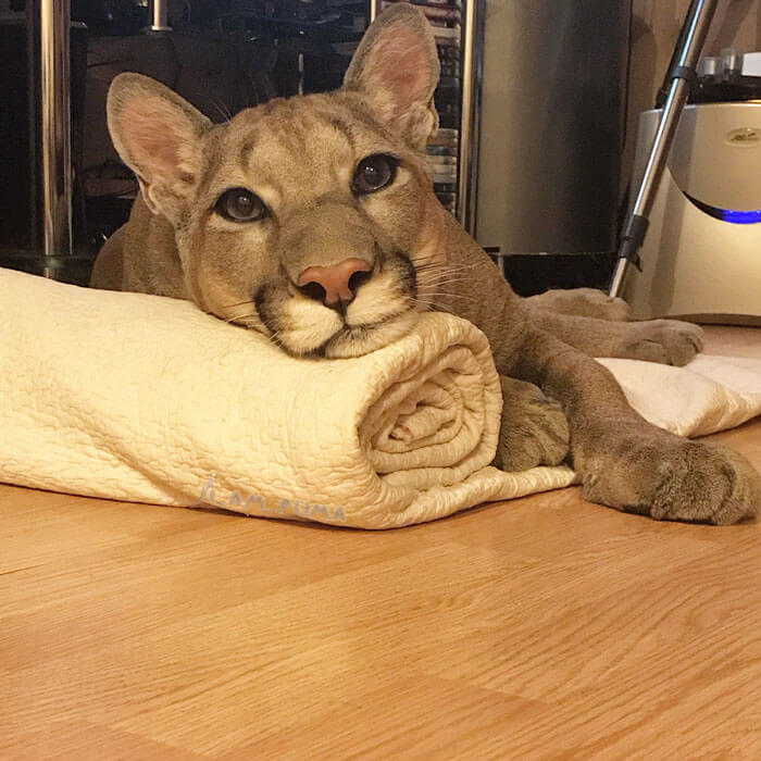 Meet Messi, The Rescued Puma That Lives As A Spoiled House Cat In Russia