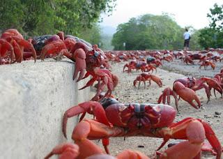 Os machos a iniciam e, mais adiante, são seguidos pelas fêmeas.Eles chegam primeiro e vão cavando suas tocas enquanto aguardam por elas. Então, eles se encontram e acasalam, ao fim, os machos retornam ao centro da ilha, de onde partiram. Enquanto isso, as fêmeas aguardam pelo momento certo de desovar os milhares de ovos que carregam consigo.