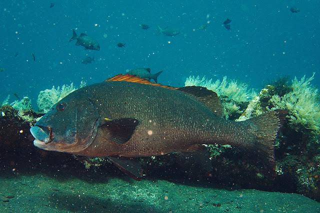 marine fish native to indonesia
