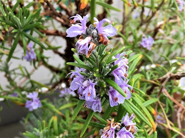 Rosmarin Blüte lila