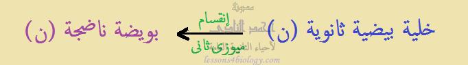 مراحل تكوين البويضة مرحلة النضج 2