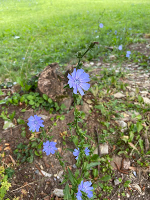 [Asteraceae] Cichorium inthybus – Chicory (Cicoria selvatica)