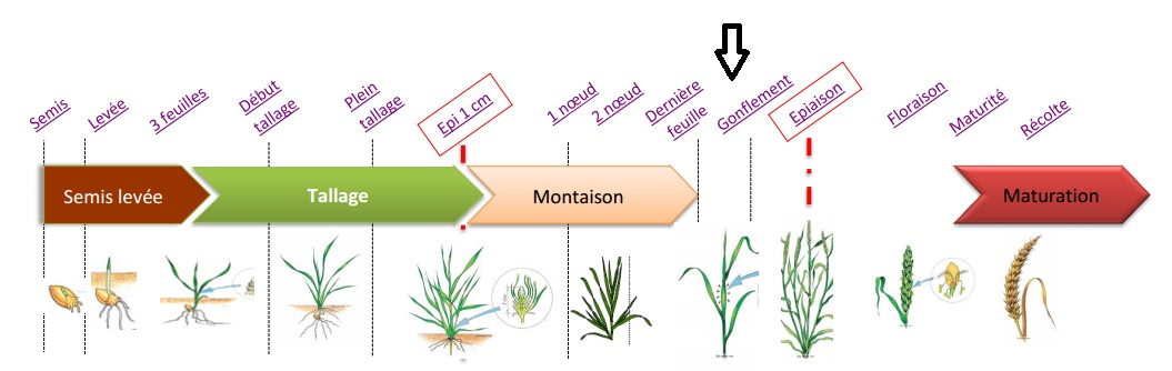 calendrier blé