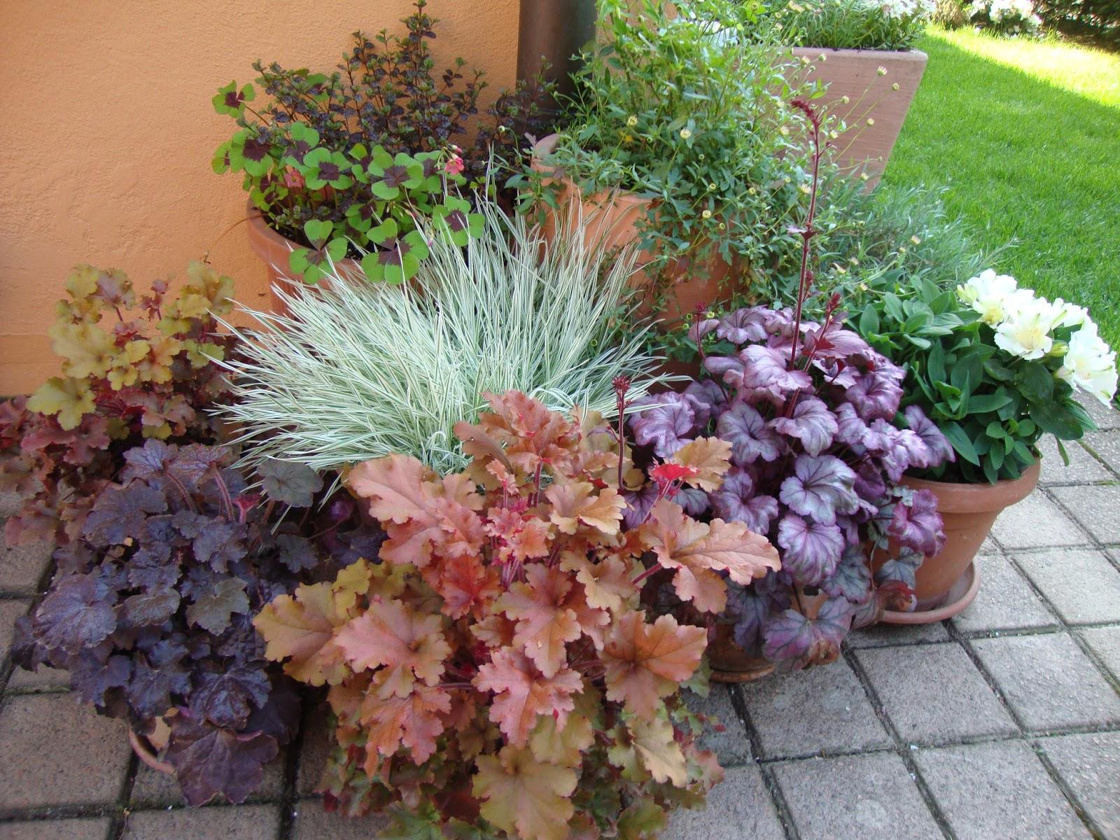 Un piccolo giardino in citt heuchera colore in giardino for Giardini fioriti tutto l anno