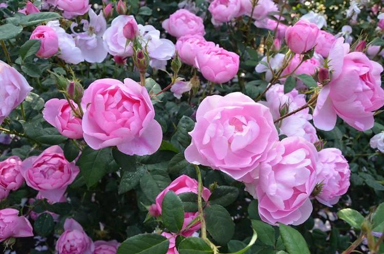 Rosa Royal Jubilee. Rosas inglesas en una abadía francesa. Rosaleda David Austin en Abbaye de Morienval, Francia