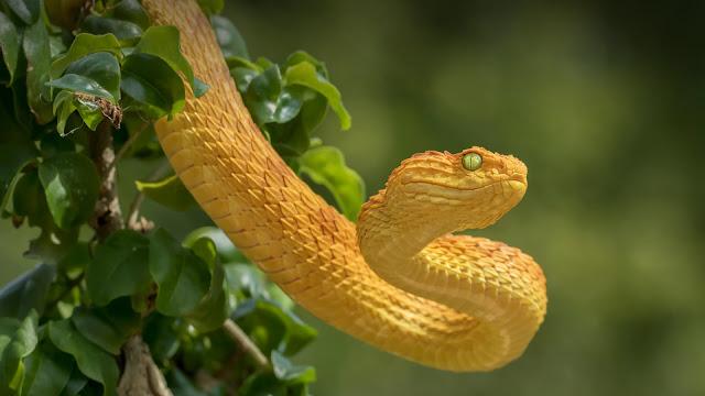 Golden lancehead