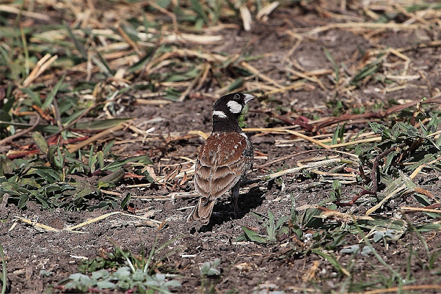 chestnut-backed sparrow-lark (Eremopterix leucotis)