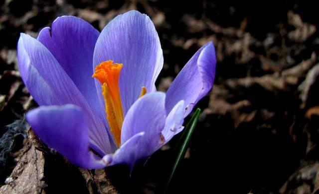L 39 orto dei colori crocus la primavera in arrivo - Bulbi estivi quando piantarli ...