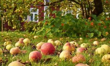 По садам, осыпаются яблоки