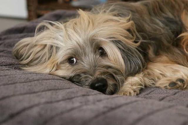 vergrößerte prostata hund schmerzen