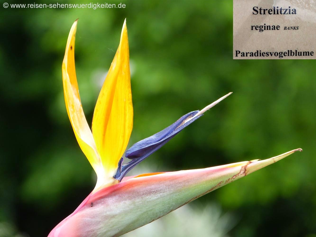 Paradiesvogelblume im Botanischen Garten, Paradiesvogel Blumen