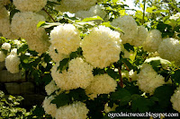Kalina koralowa 'Roseum'- Viburnum opulus 'Roseum'